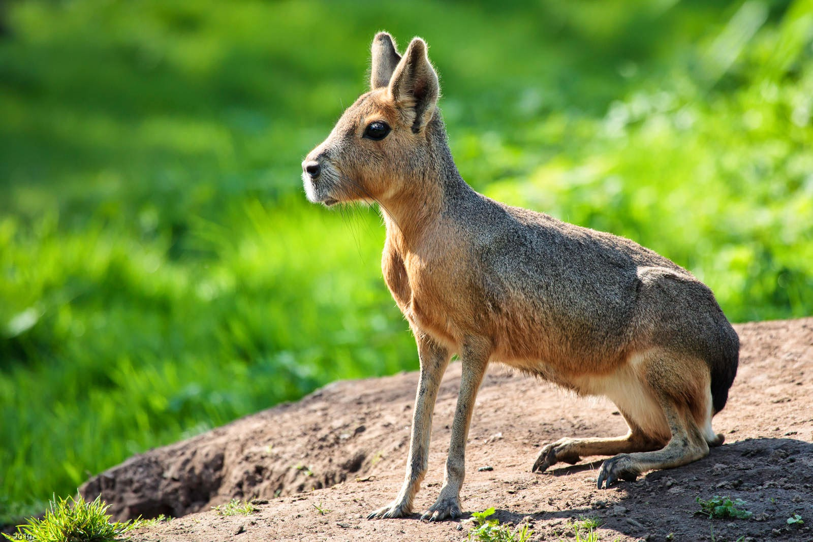Animals You May Not Have Known Existed - Patagonian Mara
