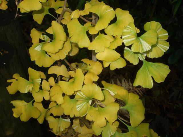 Ginkgo biloba 'Variegata' showing its autumn colour