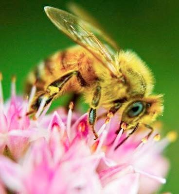 Abeja extrayendo el nectar de una flor