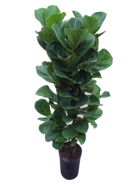 flor de lisboa the hit plant ficus lyrata. Black Bedroom Furniture Sets. Home Design Ideas