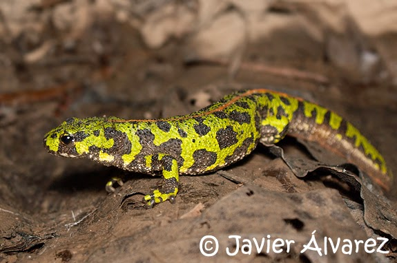 Anfibios y Reptiles de La Rioja: 2015