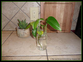 pothos clipping
