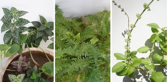 plantas: confete, samambaia e manjericão. Blog Carina Pedro