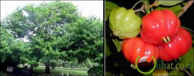 Pohon Dewandaru