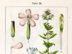 SAPONINUM (Saponina. Glucósido de Saponaria Officinalis y otras plantas)
