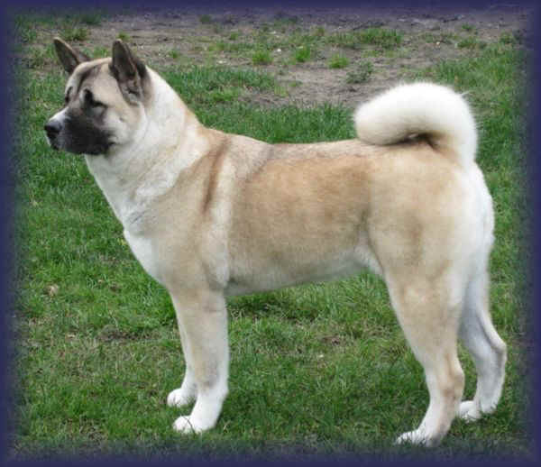 Excitement N Net: Gigantic Dogs - Akita Inu