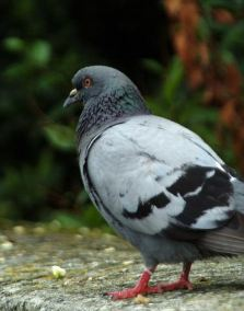 Pigeons are also known as Rock Doves