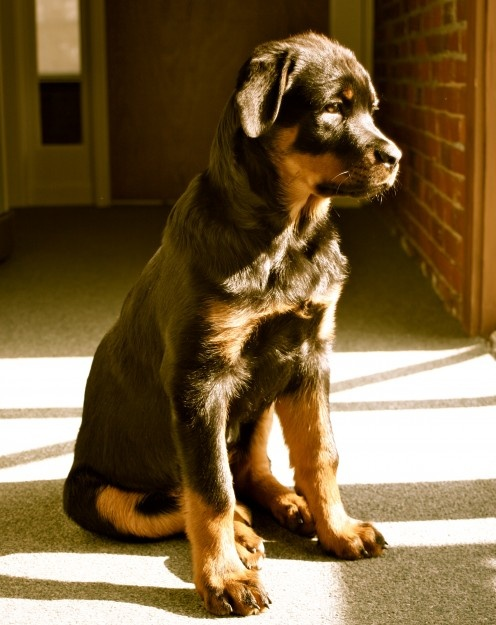 10 Interesting Facts About Rottweilers