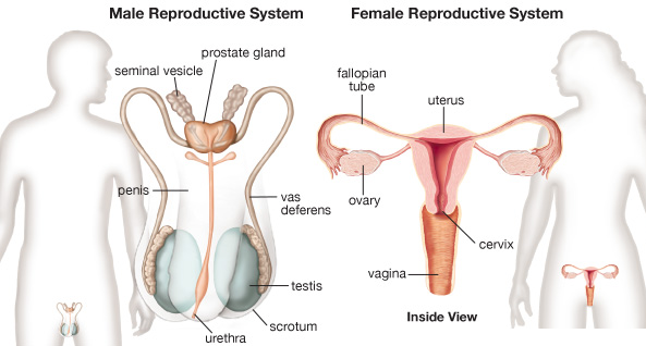 Medical Terminology, Chapter 14, The Reproductive Systems