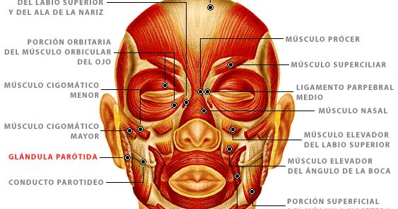 Funcione músculos mímicos - Cuál es la función de los músculos