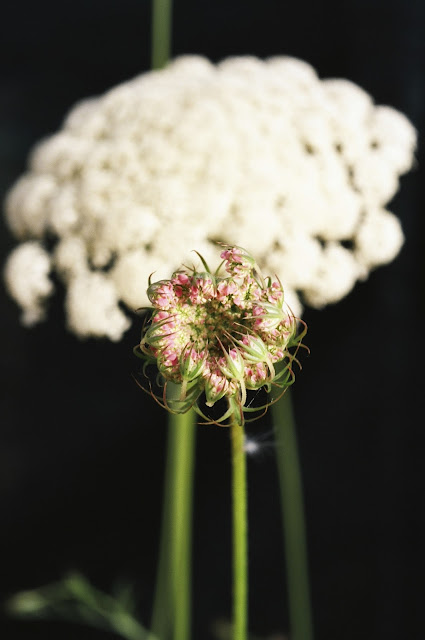 Daucus carota, Queen Anne's Lace, Sciacca Sicily © VAC 2014 FIELDWORK, FLOWERS, ALLOTMENT FLOWERS, ALLOTMENT
