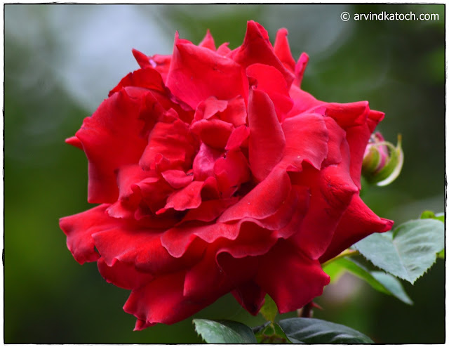 Red Rose, Full Rose, Rose, flower