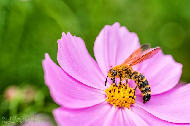 昭和記念公園、コスモスと蜂