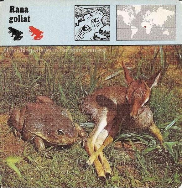 Blog Safari Club, la Rana goliat, es el mayor anuro conocido