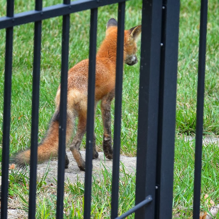 A Red Fox (Vulpes vulpes) in a suburban setting.