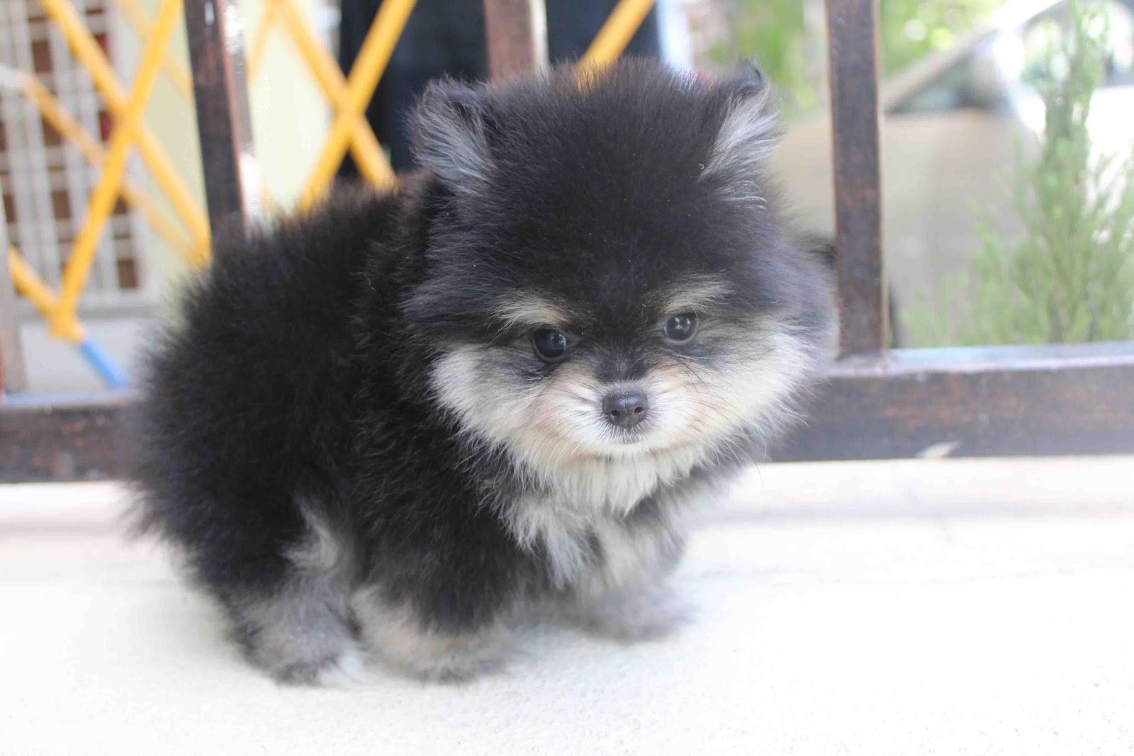 LovelyPuppy: Black Tan Super Quality Pomeranian Puppy