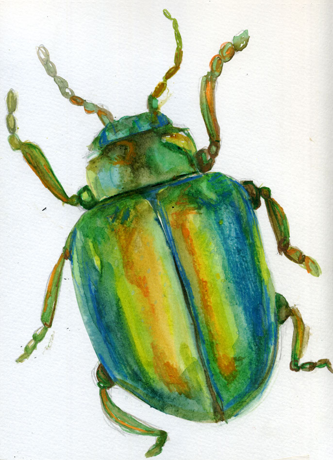 mc drawn  beetle u2014sketch  watercolour