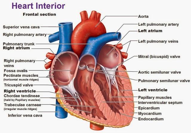 T4 aparell circulatori i excretor cincies escola st domnec de heart parts printable ccuart Images