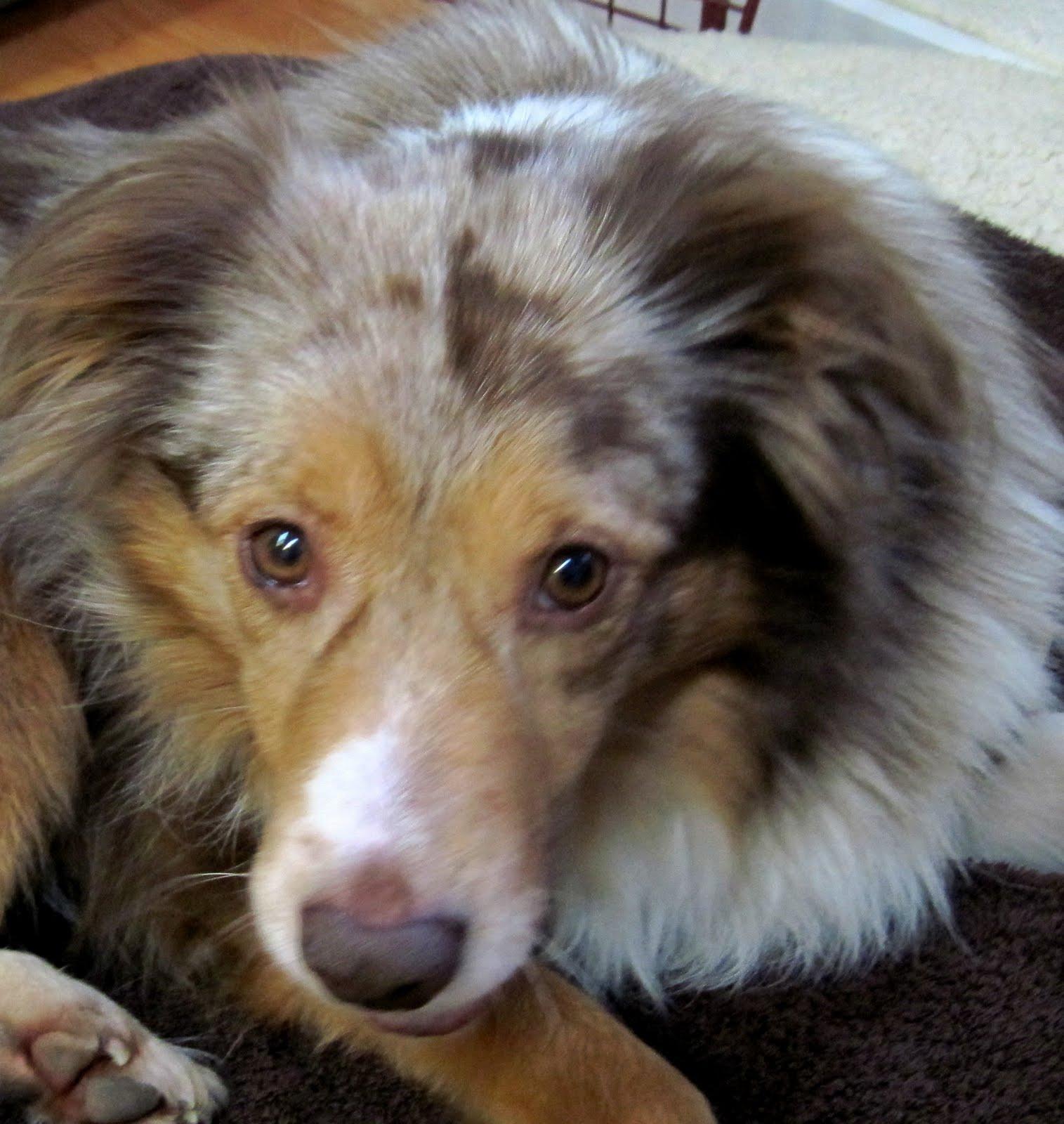 Australian Shepherd Rescue Florida | myideasbedroom.com South Florida Australian Shepherd Rescue