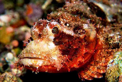 Pez Piedra (Synanceia horrida): el pez más venenoso del Mundo
