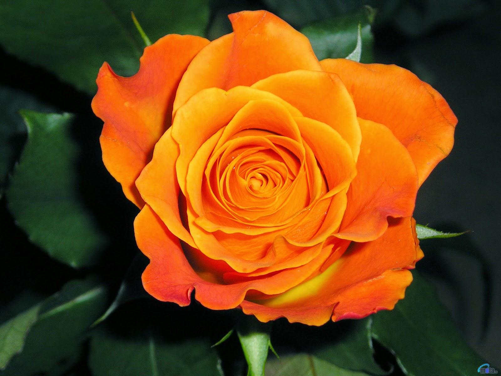 Ahora s significado de las rosas - Significado colores de las rosas ...