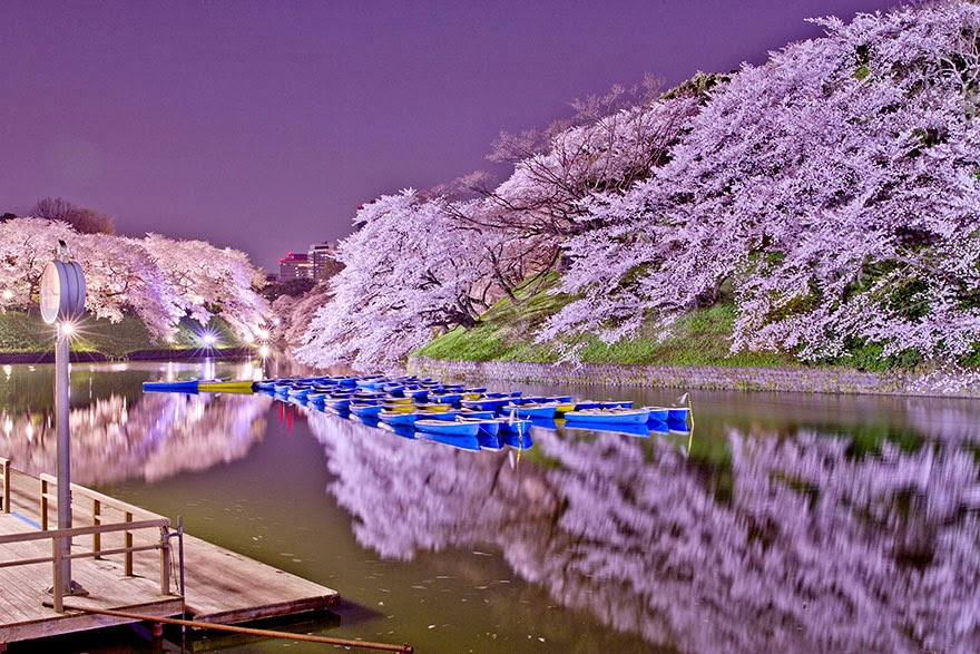 Most Beautiful Japanese Cherry Blossom Photos