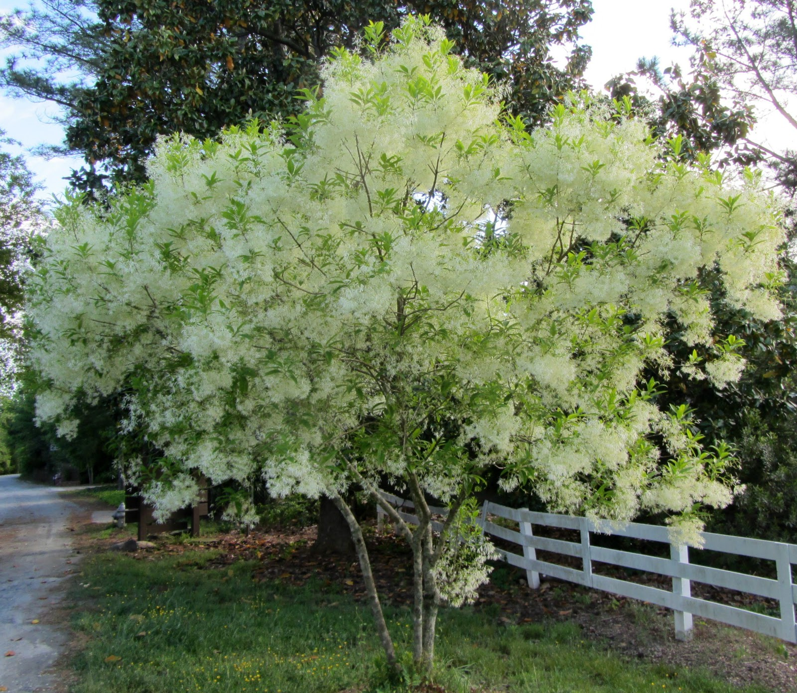 Using georgia native plants fringe benefits with for Specimen trees zone 5