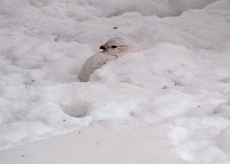 snow ptarmigan camouflage