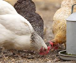 salma tavuk beslenmesi
