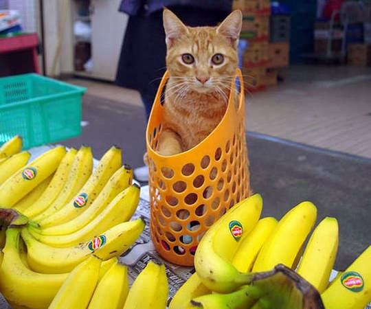 cat in shopping bag