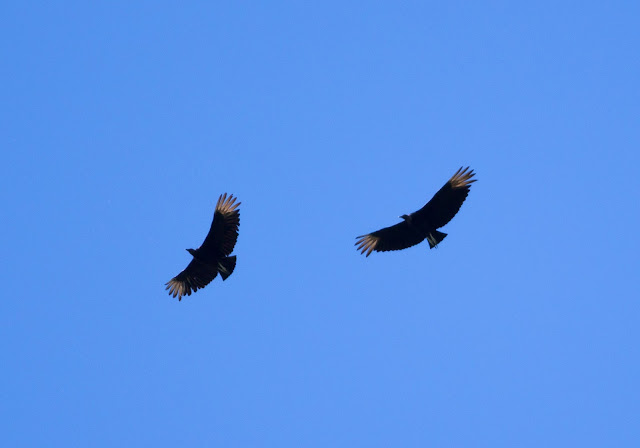 Black Vultures, New York