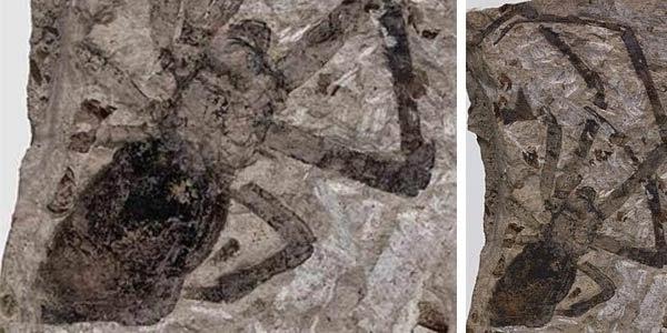 Fosil Laba-Laba Paling Besar