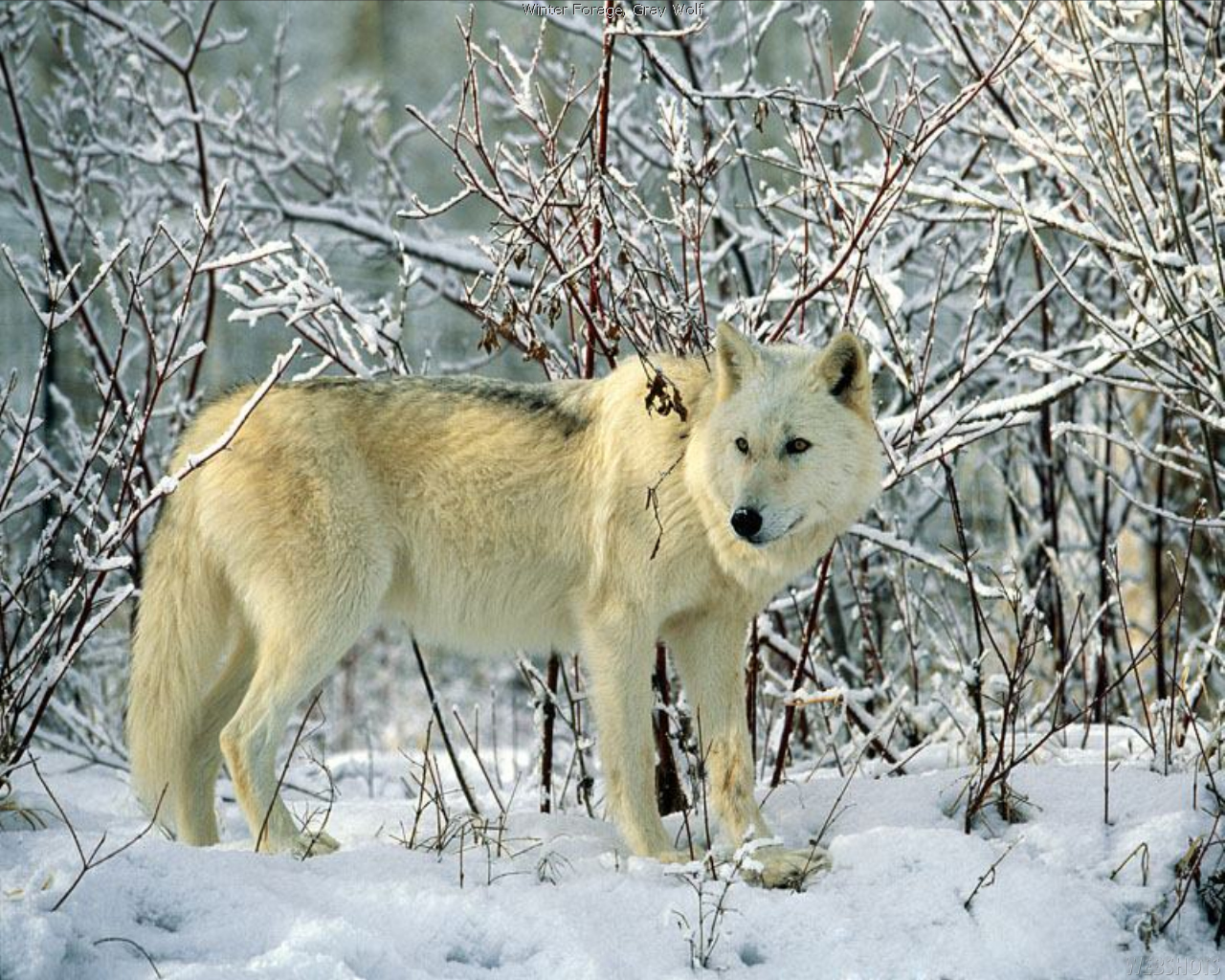 the wild wolf new pictures the wildlife