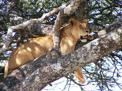 pregnant lioness in a tree, Serengeti Tanzania, Africa by JoseeMM