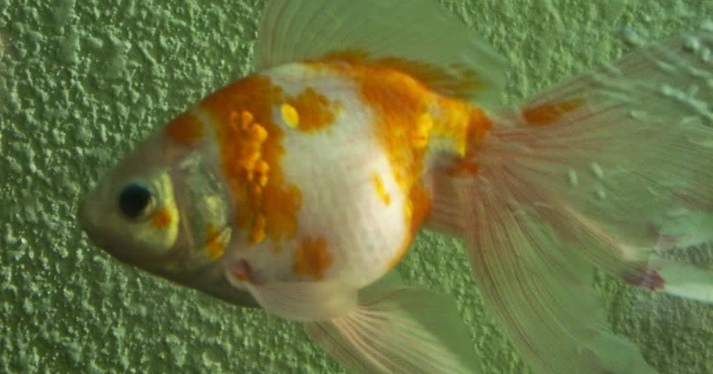 peces y plantas ornamentales viriosis septic mica del On peces ornamentales goldfish