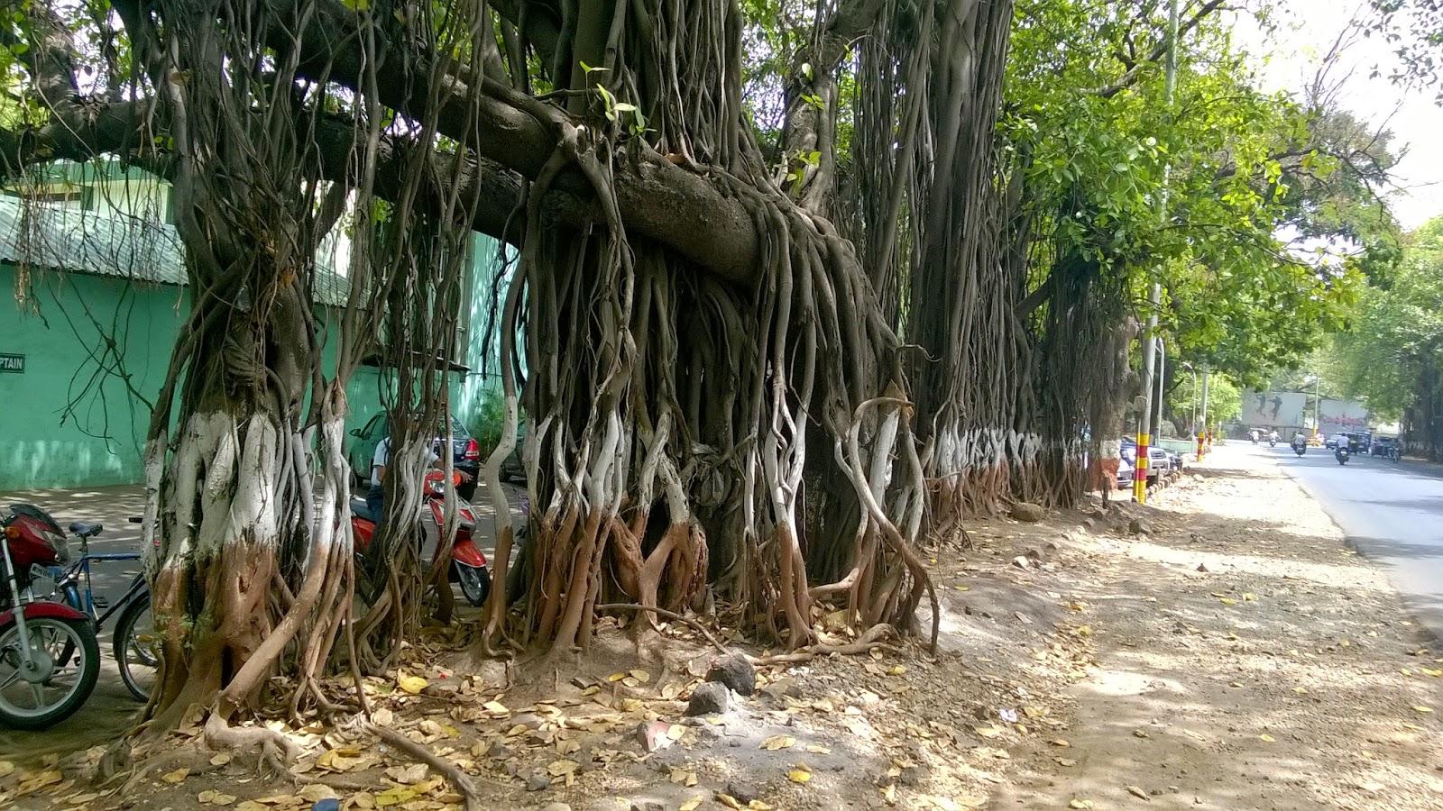 Pune, Ficus