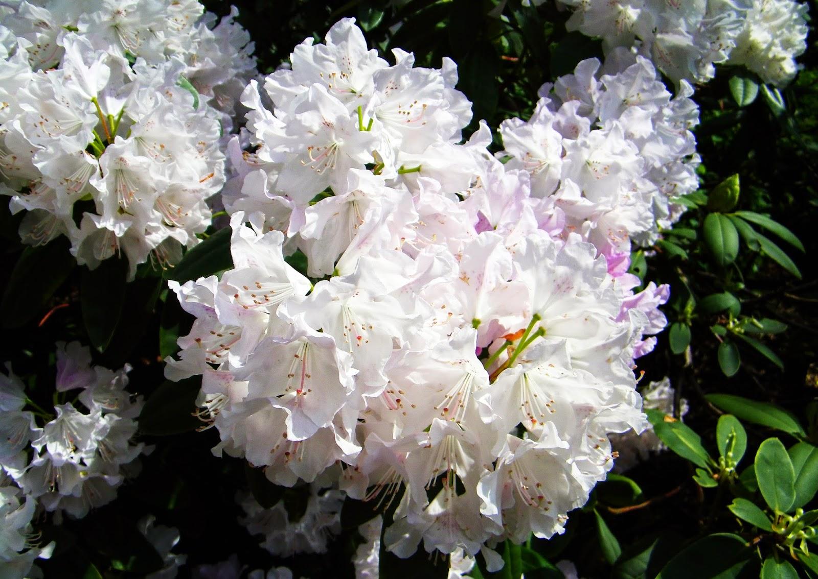 Różanecznik Rhododendron
