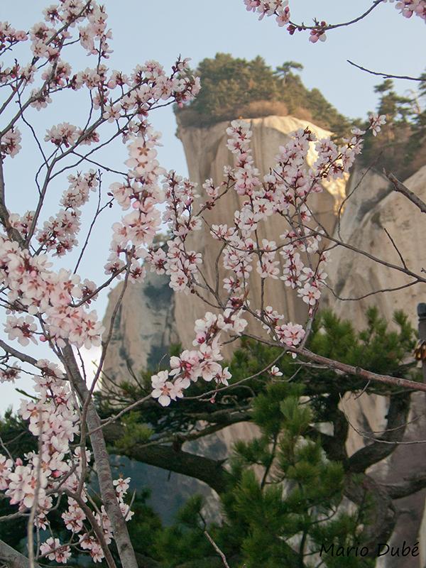 Arbre en fleurs au mont Hua (Chine)