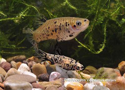 Madrecita Phalloceros caudimaculatus