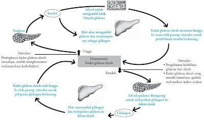 Homeostasis oleh insulin dan glukagon