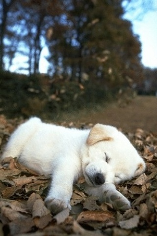 IPhoneZone White Puppy Wallpapers For IPhone
