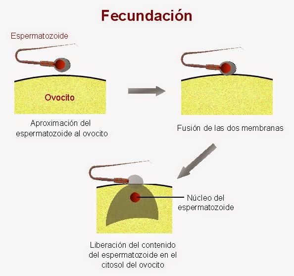 Fusión de las membranas del espermatozoide y el ovocito tras la fecundación