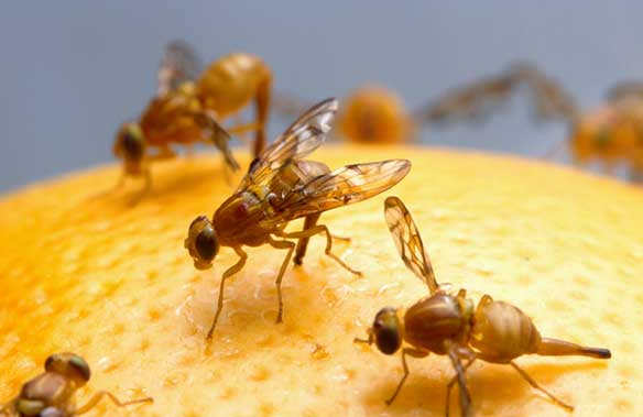 fruit from the poisonous tree fruit fly larvae