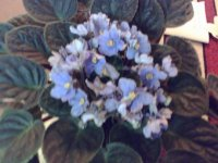 tanaman hias,african violets dan violltjes,karakteristik,perawatan