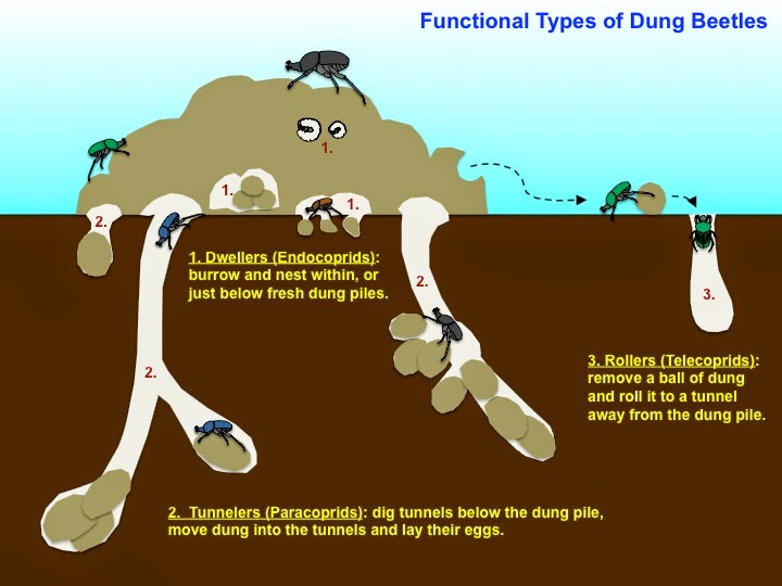 types of dung beelte