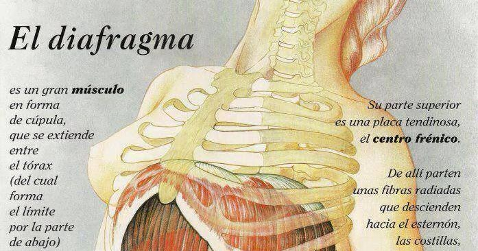 El rincón de la fisioterapia: El Diafragma, el culpable...