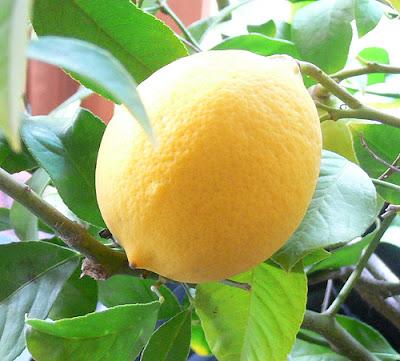 Buah Lemon Dan 1001 Khasiatnya