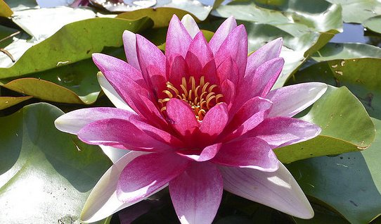 Visit mantua the lake en rose if you are planning to pay a visit to mantua in the summertime you cant miss the opportunity of seeing the blossoming of the lotus flowers on the lakes mightylinksfo