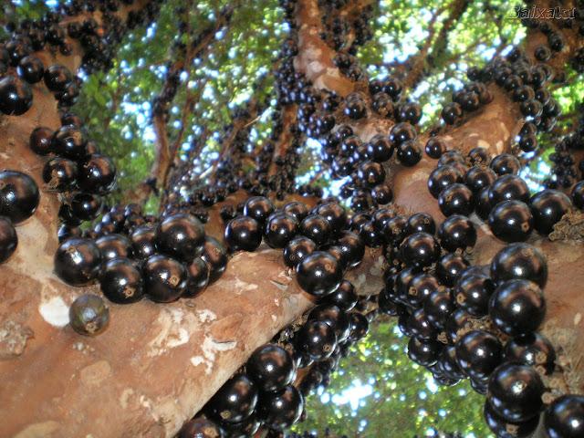 شجرة العنب البرازيلية ...سبحــــان الله