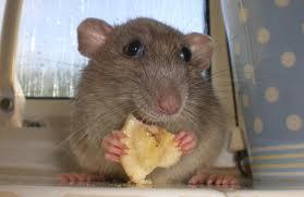 Rats image